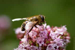 Busy bee by MDelicata