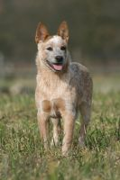 australian cattle dog by martinibaby2