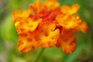orange flower by lindahabiba