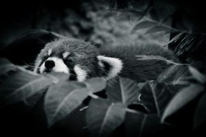 red panda black and white by thedirtyknapkin