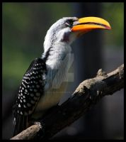 Eastern Yellow-billed Hornbill by BluuLightsaber