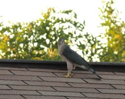 Mature Coopers Hawk by chalutplease