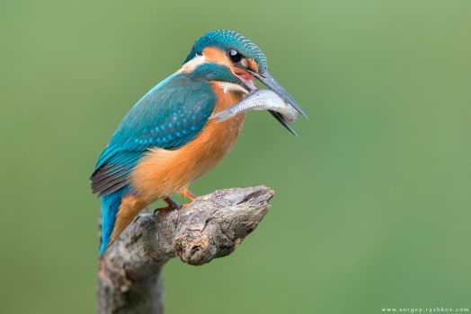 Common Kingfisher Catched The Fish by Sergey-Ryzhkov