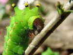 Indian Moon Moth Catapillar by TURNIP-SLOP