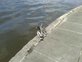 Ducks from Moscow River by n-k-man