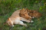 African Lion 32 by catman-suha