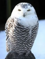 Snowy Owl by Kittyoholic