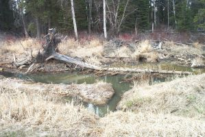 beaver dam tree root by paranoidmaven