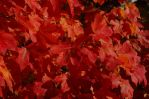 More Red Leaves by barcon53