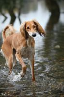 Saluki in water by Wolfruede