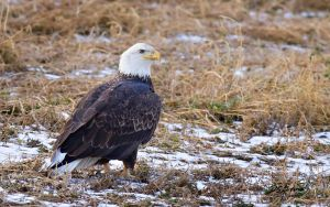 Eagle in field by DGAnder
