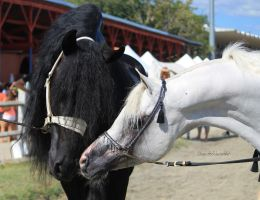 Friesian and Arabian horses 4 by Linay-stock