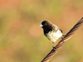 Male Yellow-bellied Seedeater by BrunoDidi