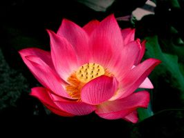 Lotus Flower by artistthinking