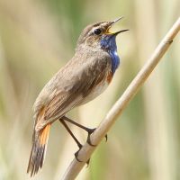 Cheerful Chappy- Bluethroat by Jamie-MacArthur