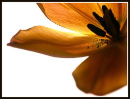 Tulip II by AndySimmons