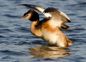 Great Crested Grebe by dog123456