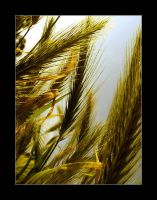 fields of gold. by PaRadiesSeits
