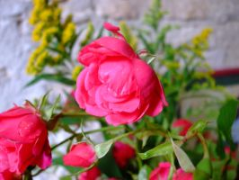 Pink Flower by Anemya-Stock