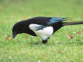 Dutch magpie by pagan-live-style