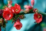 Flowering Quince by Sildilart