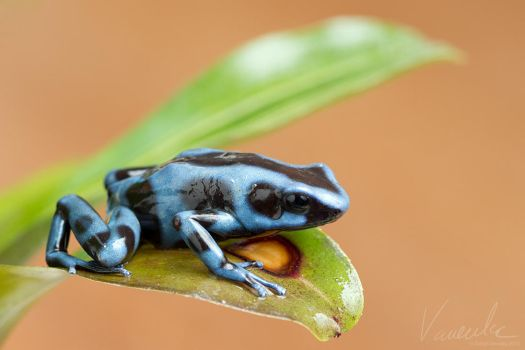 Poison Dart Frog #1 by vetchyKocour