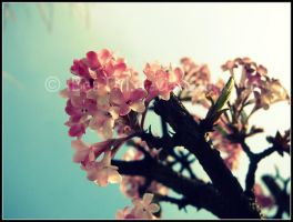Pink Flowers. by iBeaTM