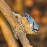 Nuthatch by starykocur