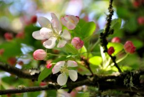 Crab Apple Blossoms by BeachGirlNikita