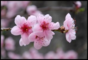 Blossoming tree by gwenoder