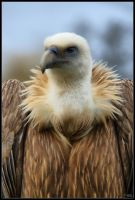 Young Griffon Vulture by mym8rick