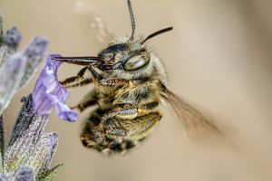 Hairy Footed Bee IV by dalantech