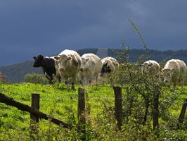 Followed by cows by MDGallery