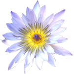 White Water Lily - top view by LilipilySpirit