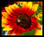 Bee on sunflower by LetsAllBeNuerotic