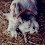 Sleeping baby goat by CocoaDesert