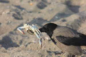 mmm crab... by Orlee