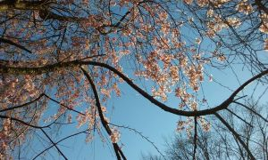 Weeping Cherry by Delina91