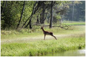 deer in nature by Claudia008