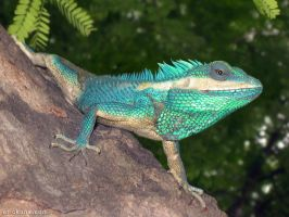 Blue Agama, Amarapura by Art-of-Eric-Wayne