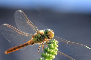 Dragonfly 4 by jochniew