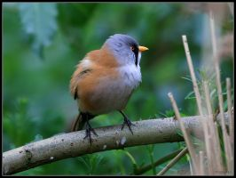Bearded Tit 2 by cycoze