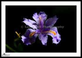 Iris in the Shade 010 by LoneWolfPhotography