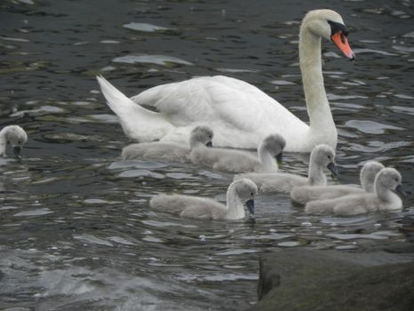 Swans and cygnets 7 by cacher18