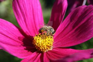 Bee on Pink Flower by TracyDark