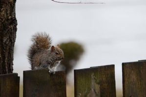 Young gray squirrel, rainy day by GuillaumGibault