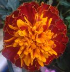 Orange Marigold Photo by SamuelEarl666
