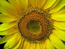 Sunflower...it makes me smile. by carinutz