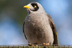 Noisy Miner by zelizzel