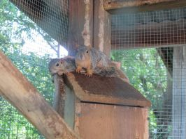 Fox Squirrels 1 by Windthin